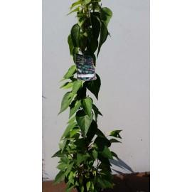 Vitalbeere - Schisandra chinensis - oder Beerentraube