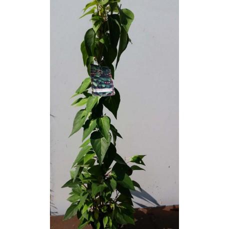 Schisandra chinensis - Vitalbeere oder Beerentraube