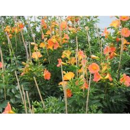 Klettertrompete - Campsis 'Grandiflora' 80 - 100 cm