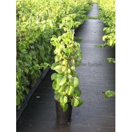 Kletterhortensien - Hydrangea petiolaris 40/60 cm- 3 Pflanzen