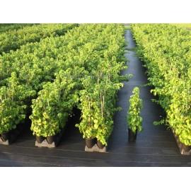 Kletterhortensien - Hydrangea petiolaris 40/60 cm - 6 Pflanzen