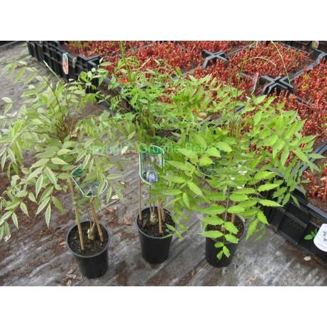 Blauregen - Wisteria - Glyzine (Sämlinge) - 3 Pflanzen