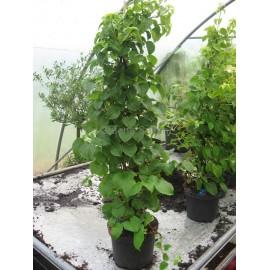 Kletterhortensie - Hydrangea petiolaris 80/100 cm