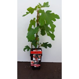 Feige - Ficus carica 'Brown Turkey'