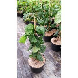 Korkenzieher-Haselnuss - Corylus avellana 'Contorta'