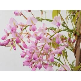 Blauregen-Wisteria-Glyzine venusta 'shova-beni' (Samtwisterie) rosa 40-60 cm