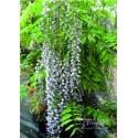 Blauregen - Wisteria  floribunda 'Macrobotrys' 80 - 100 cm