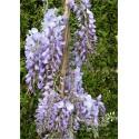 Blauregen - Wisteria sinensis Prolific 80 - 100 cm