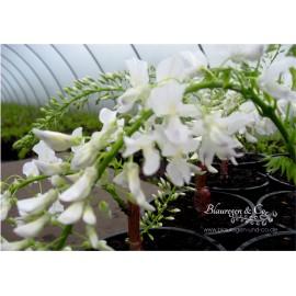 Blauregen (weiß) - Wisteria floribunda alba 80 - 100 cm