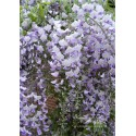 Blauregen - Wisteria  floribunda 'Issaii' 80 - 100 cm