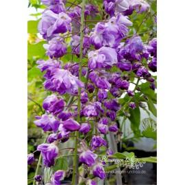 Blauregen-Wisteria-Glyzine floribunda 'Violacea Plena' 80-100 cm