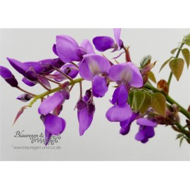 Blauregen-Wisteria-Glyzine venusta 'okayama'  (Samtwisterie) 80-100 cm