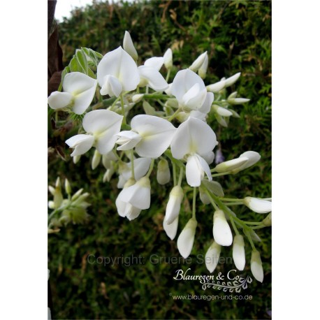 Blauregen-Wisteria-Glyzine venusta 'alba' (Samtwisterie) weiß 40-60 cm