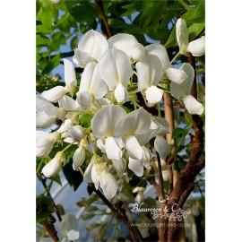 Blauregen-Wisteria-Glyzine venusta 'alba' 80-100 cm (Samtwisterie) weiß