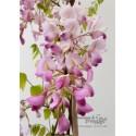 Blauregen rosa-Wisteria-Glyzine venusta 'shova-beni' (Samtwisterie) rosa 80-100 cm