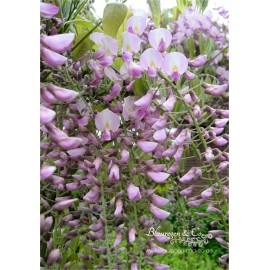 Blauregen (rosa) - Wisteria floribunda 'rosea' 80-100 cm