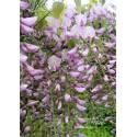 Blauregen (rosa) - Wisteria - Glyzine 'floribunda. rosea 40 - 60 cm