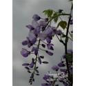 Blauregen-Wisteria sinensis 'Carolina' 40/60 cm