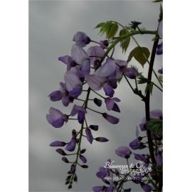 Blauregen-Wisteria sinensis 'Carolina' 80/100 cm
