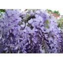 Blauregen-Wisteria floribunda 'Blue Dream' 80/100 cm