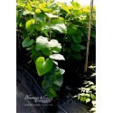 Pfeifenwinde - Aristolochia macrophylla  40/60 cm