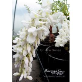 Blauregen-Wisteria sinensis 'alba' - 80/100 cm